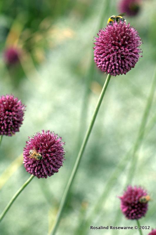 Bees on Allium