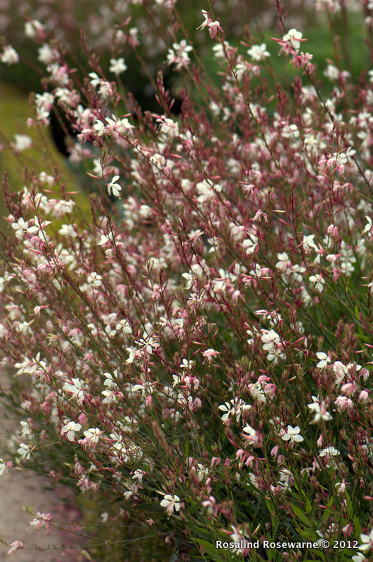 Gaura lindheimeri at the path edge