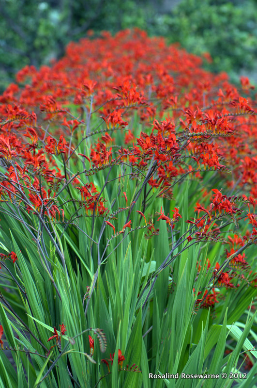 Crocosmia Lucifer crop