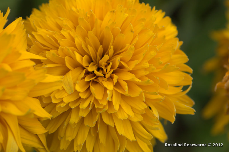Dhalia from seed