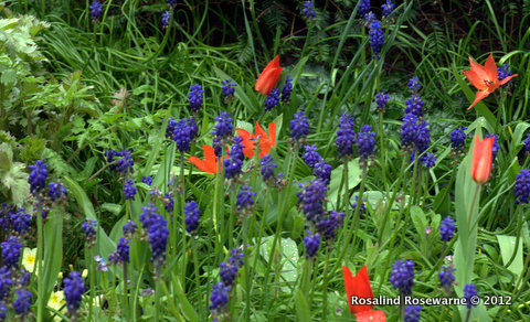 ROSEWARNE GARDENS-GREAT DIXTER-TULIPS/GRAPE HYACINTH