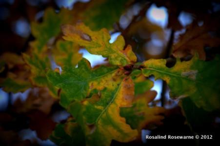 Quercus - Oak