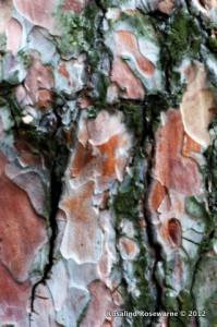 Scott's Pine