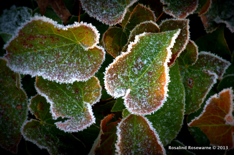 Frosted Epimedium tinged with red at the edges