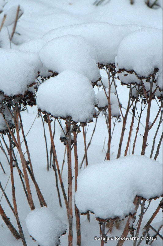 Snow covered Sedum heads.