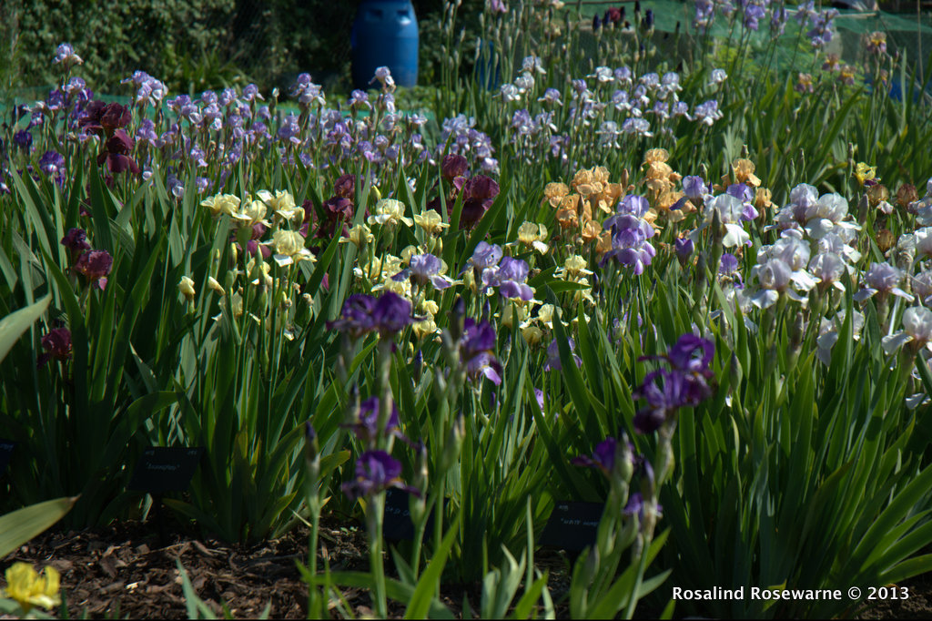 The Iris Collection getting under way with flowers at the beginning of June  (Late this year)