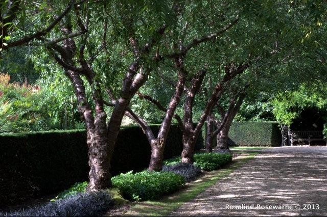 Prunus serrula trees form an avenue underplanted with Ophiopogon nigrcens and Pachysandra