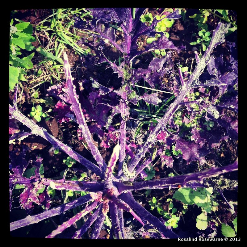 Red Kale mauled by caterpillars