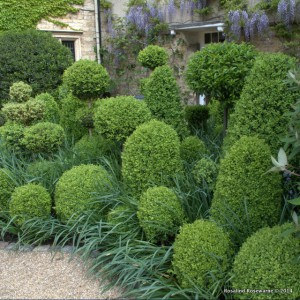 Mounds of sprouting spring topiary