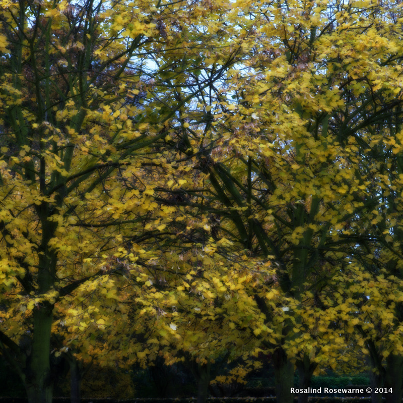 Clothed in yellow through the autumn season