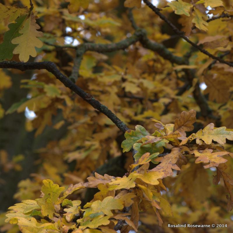 Quercus (Oak)