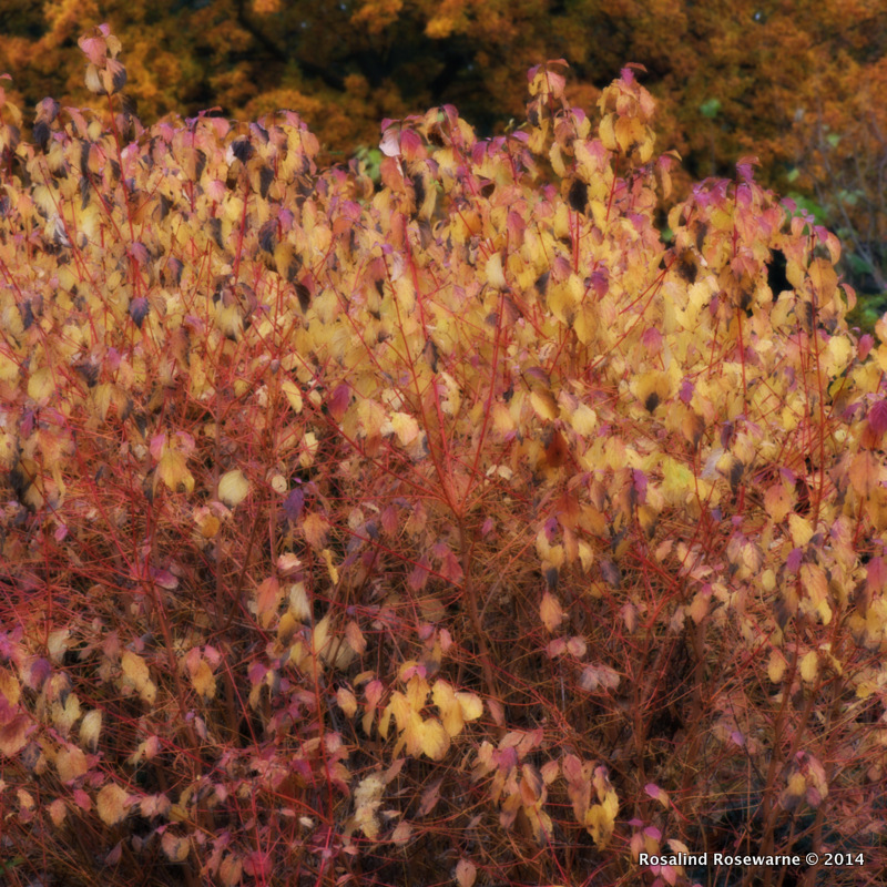 Cornus alba Elegantissima. Stunning rich coloured foliage drifts down to reveal red skeleton stems for winter.