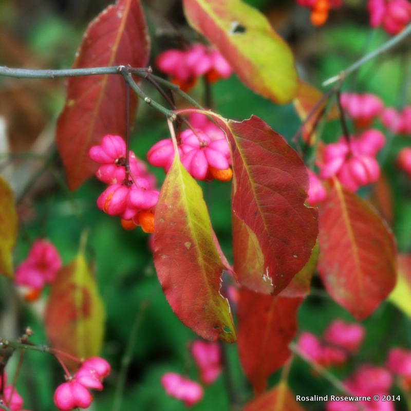 Euonymus europea (European Spindle_