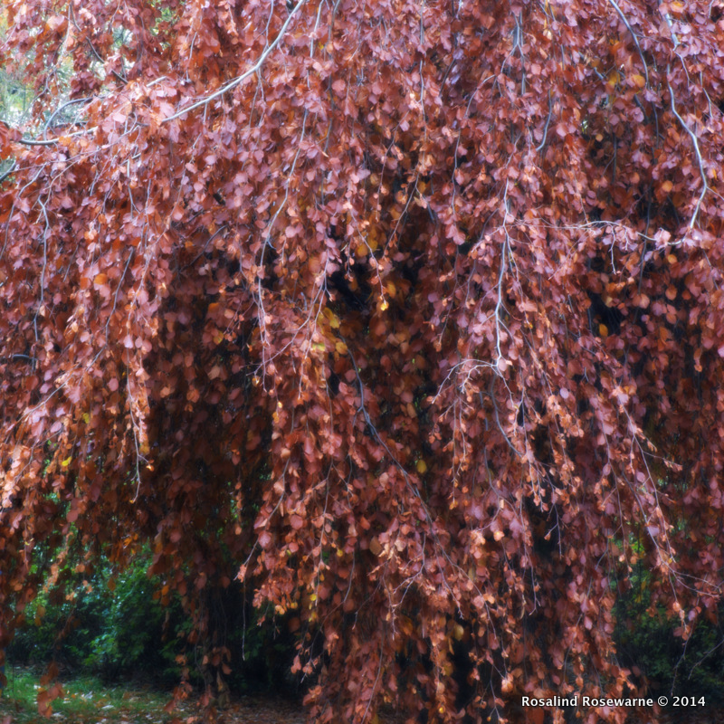 Fagus sylvatica 'Pendula' (Weeping Beech) turning rich bronze leaves into a waterfall of colour