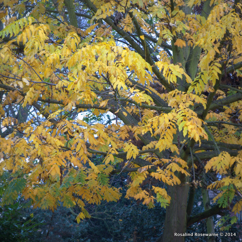 Fraxinus (Ash) in case you have any left this is the buttery tones of Ash come autumn