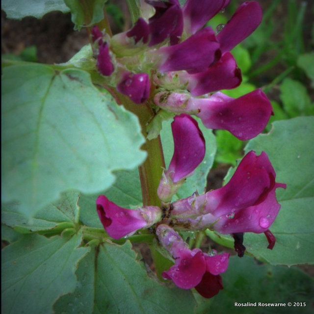 Crimson Flowered Broad Bean