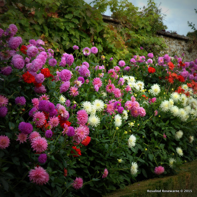 A sweep of Dahlia at Rousham