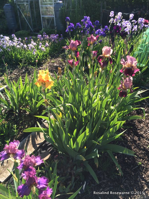 TB Iris providing a wonderful splash of VERY blousey color in early June