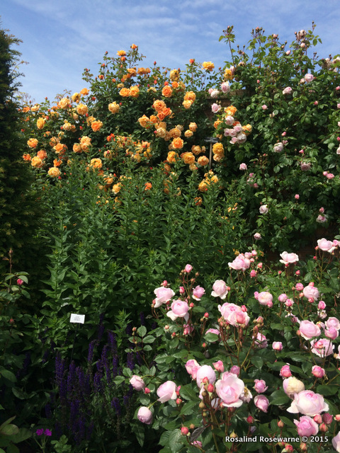 Rose gardens at David Austin in Albrighton