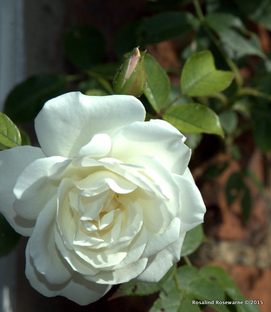 Longest flowering climber, deliciously scented Rosa Iceberg