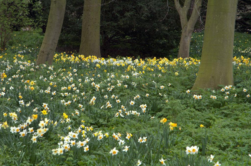 Daffodil Trees