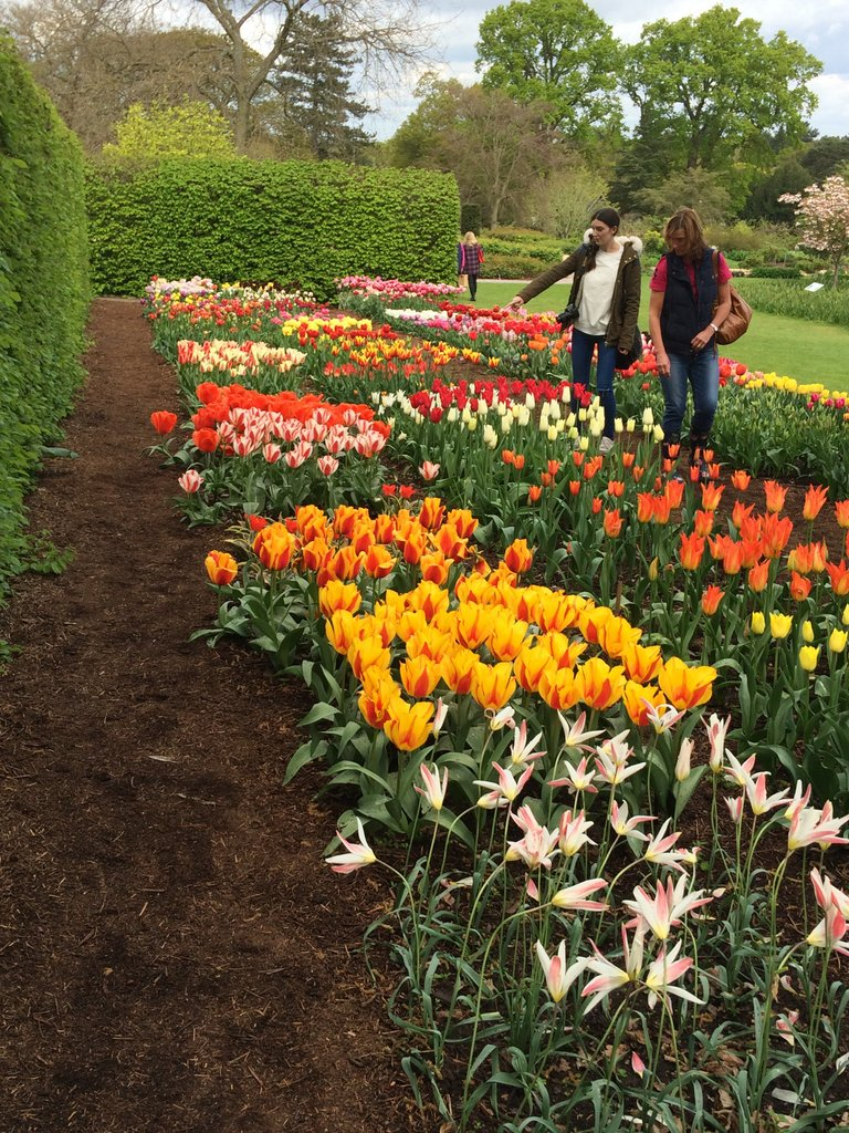 Tulip trials At RHS Wisely