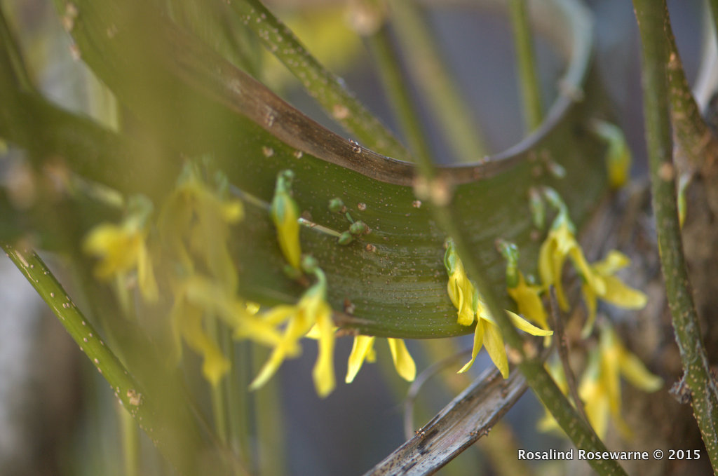 Fasciation of a Forsythia