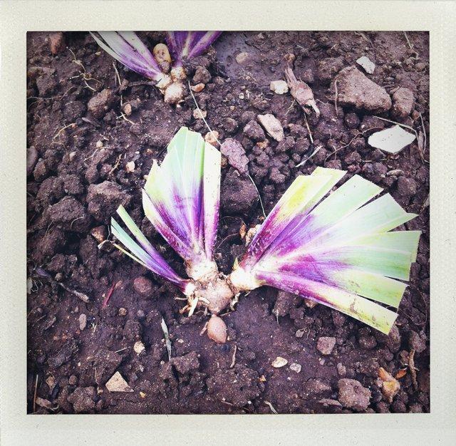 DIviding Iris Purple fans