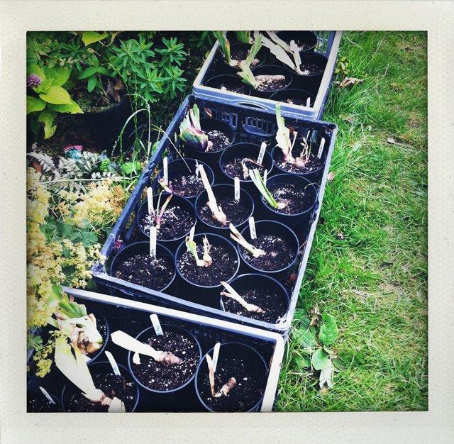 DIviding Iris pots