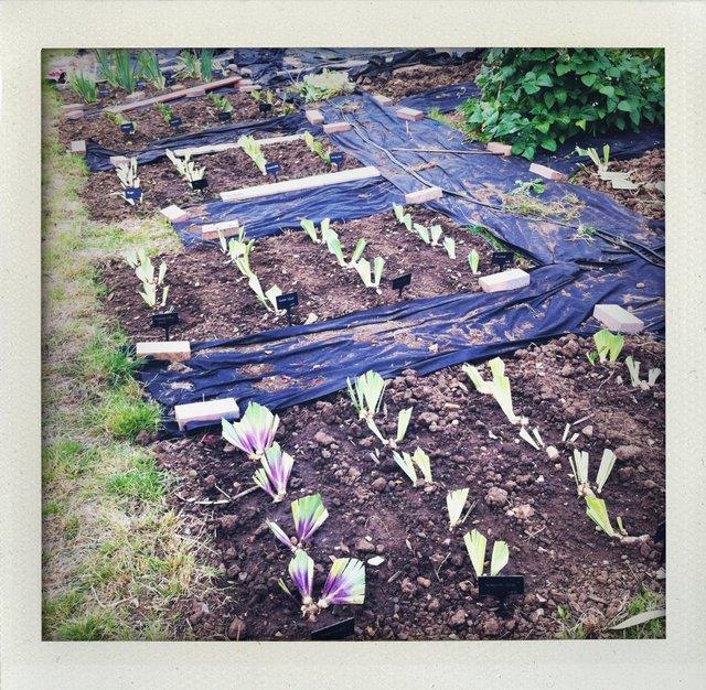 DIviding Iris replants