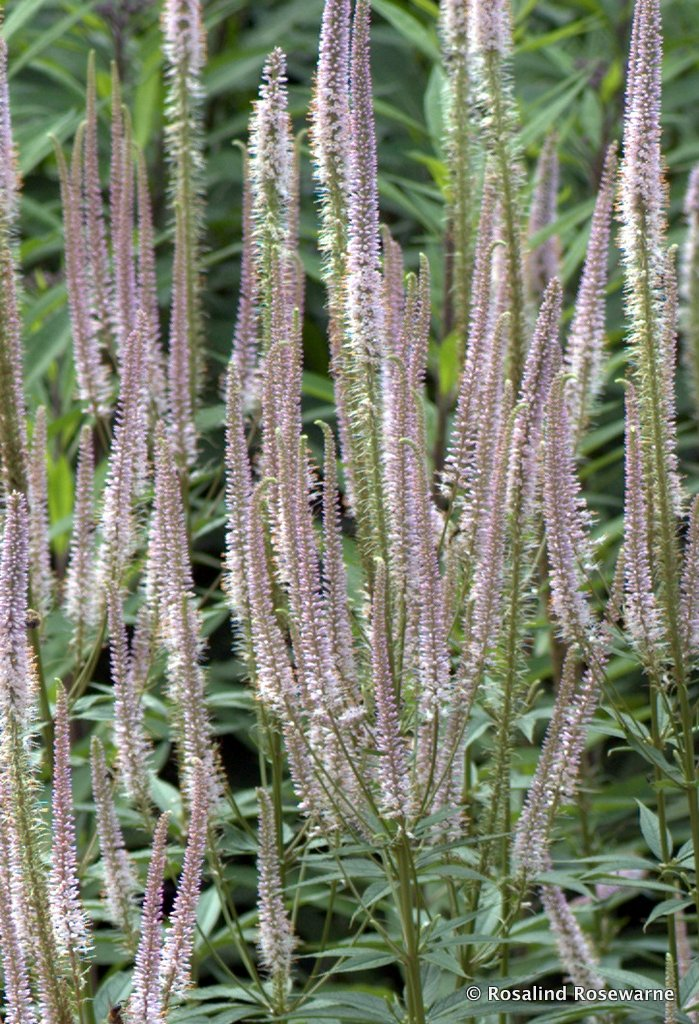 VERONICASTRUM_TRENTHAM