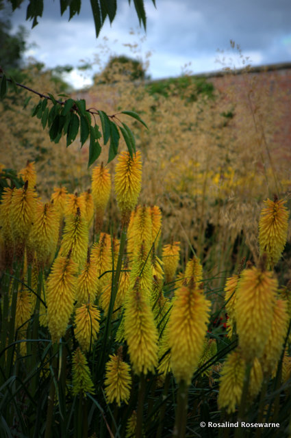 Knophofia or red hot pokers, although in this case rich yellow pokers!