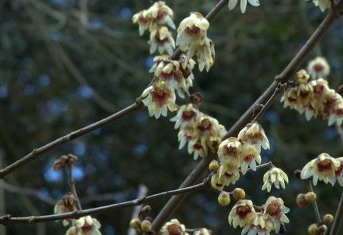 Winter Sweet (Chimonanthus praecox) at Cambridge Botanic Gardens