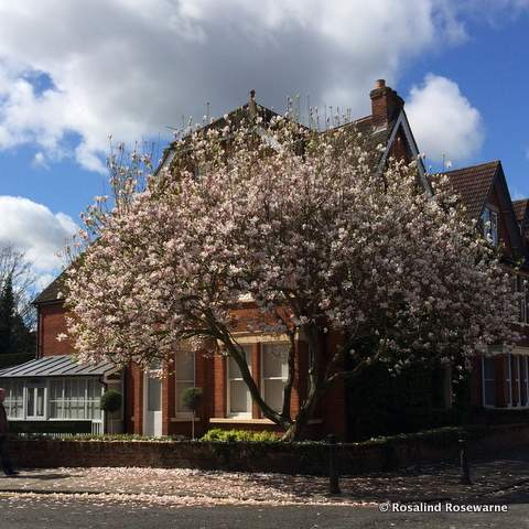 rosewarne gardens - magnolia tree