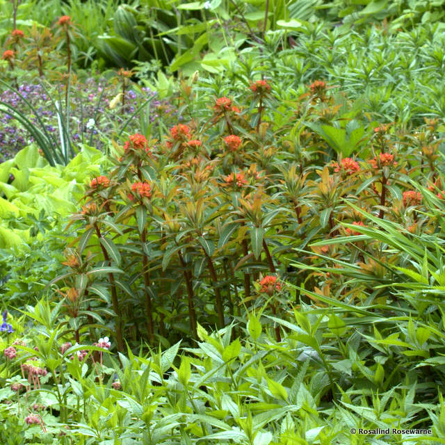Euphorbia griffithii at Waterperry gardens in May