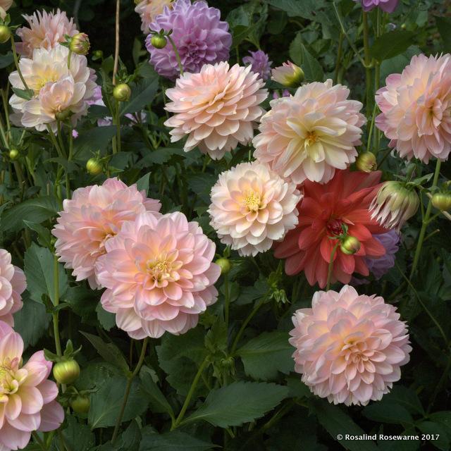 Rosewarnegardens Dahlia Rousham Borders Rosewarne Garden